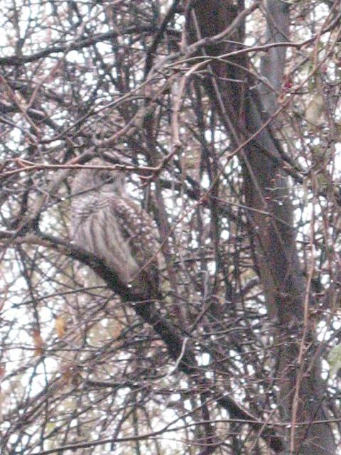 Owl in the Arboretum