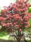 Bloodgood Maple: Beautiful tree, kickass name!