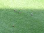A flock of mourning doves ambled across the outfield over a period of several innings, unperturbed by batted balls and charging outfielders.