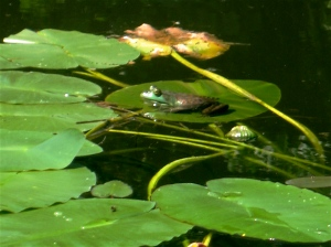 One of many frogs in the Farm Pond.