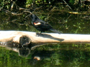 A red-winged blackbird pauses a moment on a floating log.