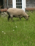 Sheep work as lawnmowers.