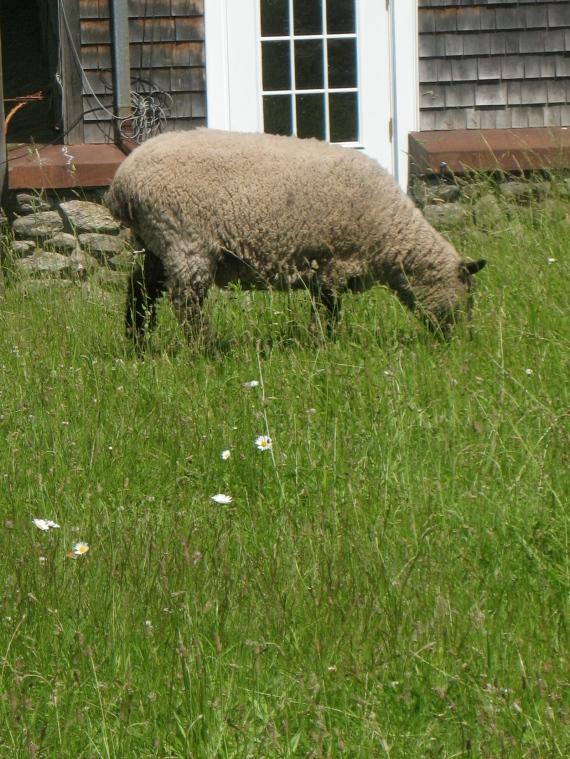 Sheep work as lawnmowers.