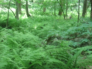 The forest floor covered in ferns.