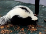 Meet a skunk at Drumlin Farm.