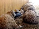 Fuzzy pigs!