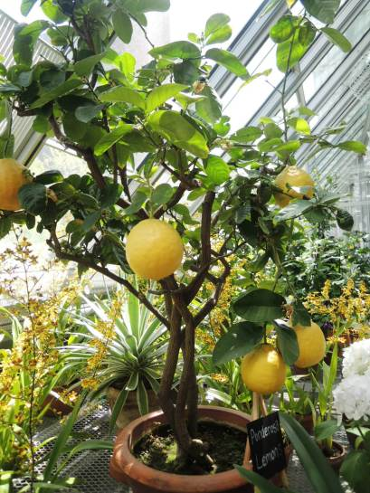 Lemon tree in the greenhouse