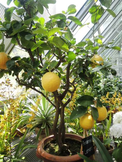 Lemon tree in the greenhouse