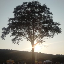 My favorite tree at the Green River Festival.