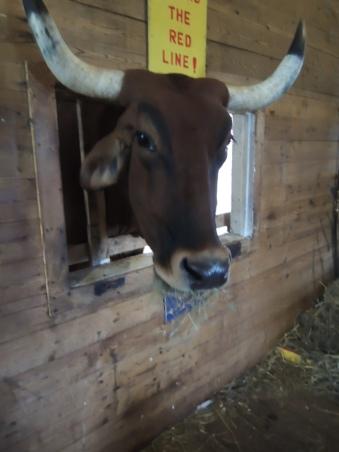 Carlos the Ox