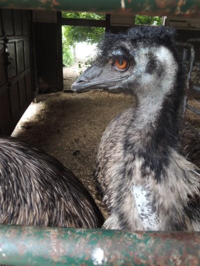 Dinosaur! Or an emu