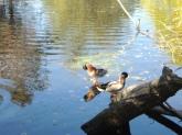 Mallards on the Muddy River.
