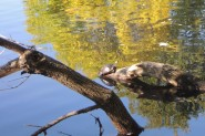 Resting turtle.