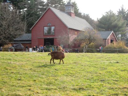 The big red barn with a goat in the foreground.