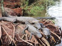 Chinese alligator pile.