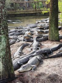 Endless gators.