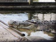 Utan - King of the Crocs