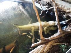 Albino alligators, ghosts of the swamp.