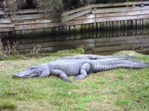 American alligator.