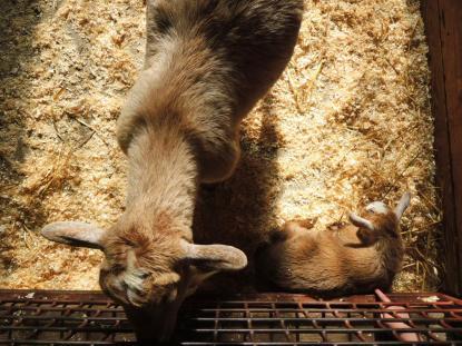 Newly born Nigerian Dwarf Goat & mother.
