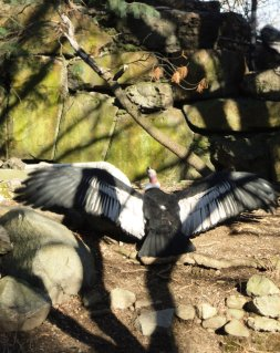 An Andean Condor stretches its wings.