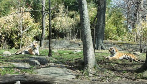 Tiger buddies rest together