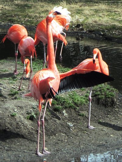 Chilean flamingo flapping