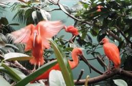 Scarlet ibis flapping