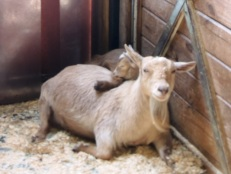 Baby Nigerian Dwarf Goat Chewbacca rests on her mom.