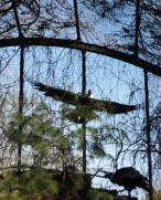 Condor takes flight.