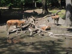 Pere David's deer mudbath