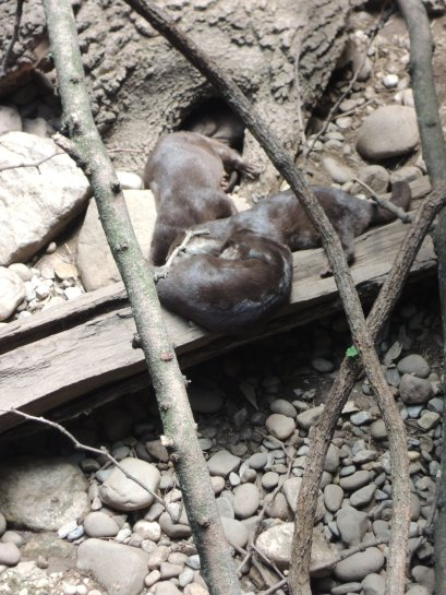 Asian otters napping
