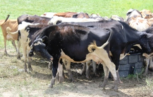 Fighting flies, cow style