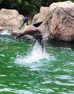 Flipping sea lion