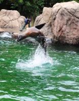 Flipping sea lion