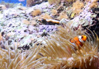 Clownfish hide and seek.