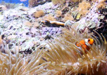 Clownfish hide and seek.