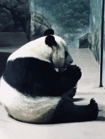 Mei Xiang eating.